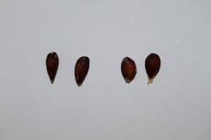 リンゴの種