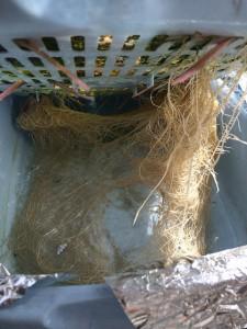 水耕栽培レタス 6ヶ月後の根 2014.3.7