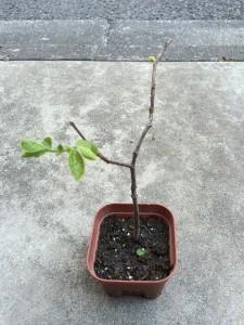 柿 植え替え前 2014.4.26