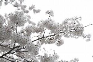 サクラ 2014.3.31