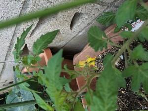 トマトの花 2014.5.2
