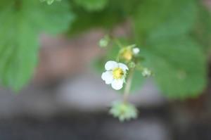 ワイルドストロベリー 花 2014.6.1