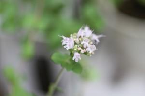 オレガノの花 2014.7.14