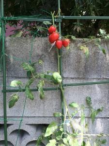 トマト ルビーノ 2014.8.16