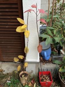 リンゴ サンふじの種から 2014.1.7