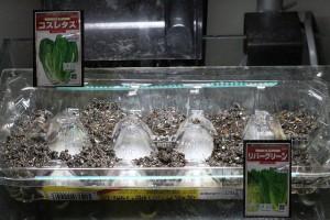 コスレタス・リバーグリーン 種まき 2015.3.4