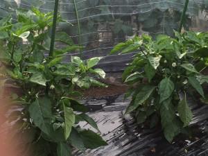 市民農園 ピーマン 2015.6.7
