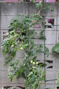 トマト 2015.6.23