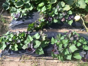サツマイモ 市民農園 2015.7.13