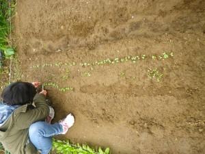 間引き 2015.12.2 市民農園