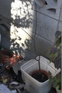 柿(富有柿の種から) 2015.12.9