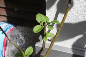 リンゴ(サンふじの種から) 2016.3.29