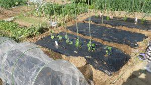 植え付け後 市民農園 2016.4.30