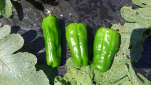 ピーマン 収穫 市民農園 2016.6.2