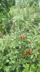 ミニトマト 2016.7.3 市民農園