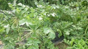 ダイコン 収穫 2016.7.3 市民農園