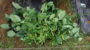 枝豆 収穫 2016.7.6 市民農園