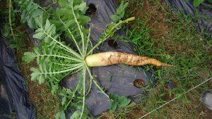 ダイコン 収穫 2016.7.6 市民農園