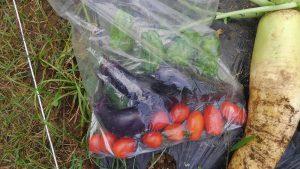 トマト・ピーマン・ナス 収穫 2016.7.6 市民農園