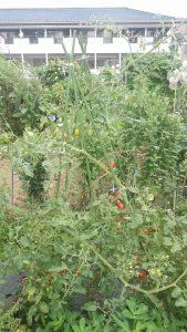 ミニトマト 市民農園 2016.7.28