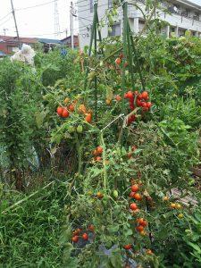 ミニトマト 市民農園 2016.8.8