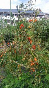トマト 市民農園 2016.9.3