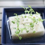 水菜 2017.6.7