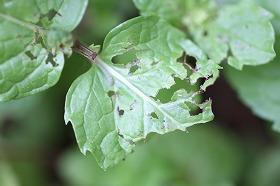 スペアミント メイガ幼虫