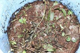 うさぎ糞堆肥 101015