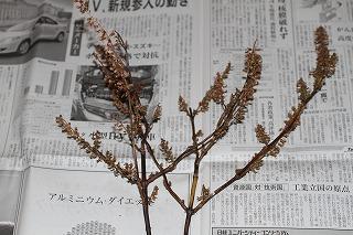 大葉の採種