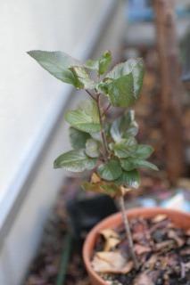 リンゴ 2011/12/30